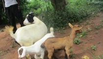 RDC : « Un Monde Sans Faim » booste l'agriculture et l'élevage au Nord-Ubangi & Sud-Ubangi