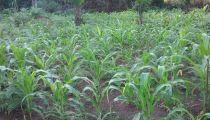 Sud-Ubangi : 1ère année positive du «  monde sans faim… », un projet de sécurité alimentaire de Caritas en faveur de 5.000 ménages ruraux