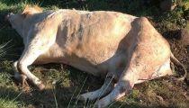 Kasaï Oriental : 54 vaches foudroyées, enterrées et finalement consommées par la population à Dibaya