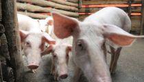 Nord-Kivu : des porcs pour faciliter la cohabitation pacifique à Minova
