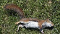 Sankuru : deux jeunes gens hospitalisés à l'hôpital de Kole, après avoir mangé un écureuil mort